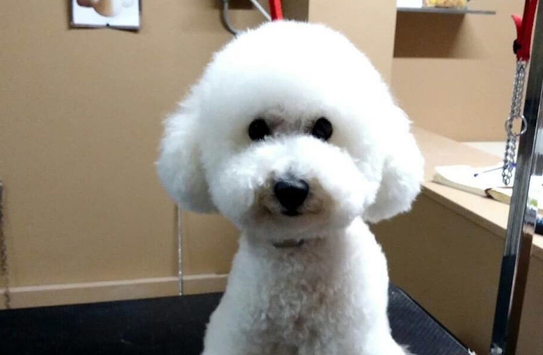 Come pulire le orecchie al cane e rimuovere i peli
