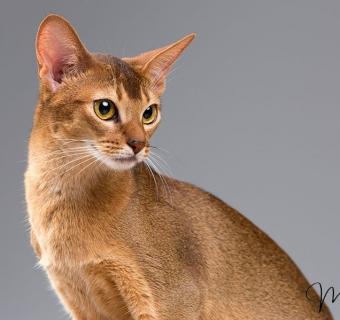 Il Gatto Abissino